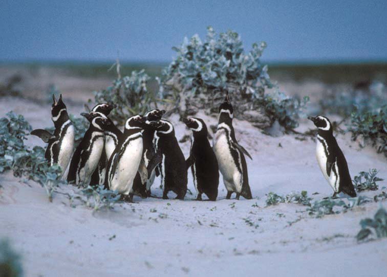 magellanicpenguins.jpg